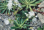 Lewisia cotyledon